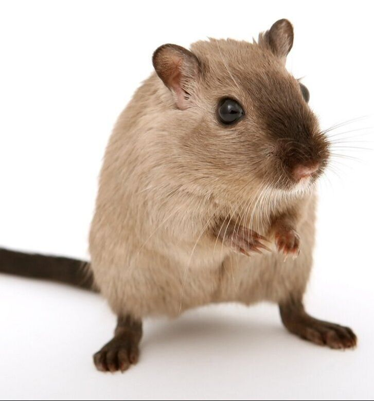 A mouse which can be a pest in a home in Summit County Ohio